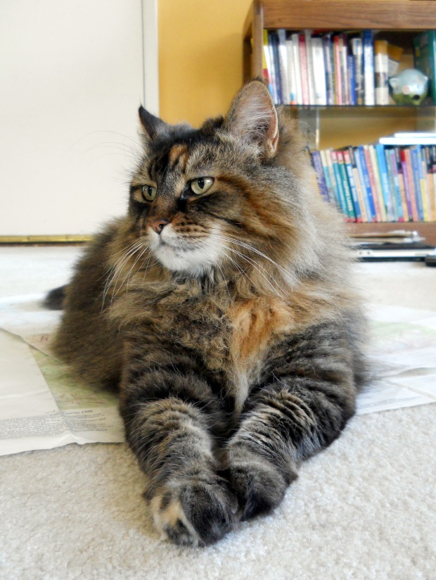 Gracie, 12.3 pounds of fluffy cat greatness. She won't be coming on the trail